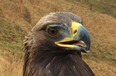 For golden eagles, habitat loss is main threat from wind farms
