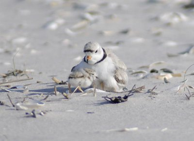 Piping plover stalling plans to replenish Fire Island beaches