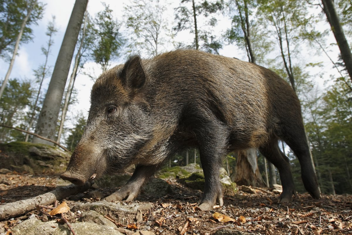 Invasive Wild Pig Populations Continue To Grow Spread Through - Map of areas in us with wild pigs