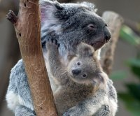 Invading retrovirus linked to high rates of lymphoma, leukemia among koalas