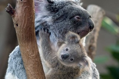 Invading retrovirus linked to high rates of lymphoma, leukemia among koalas