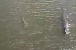 Alligator and bull shark swim side by side in Florida lagoon