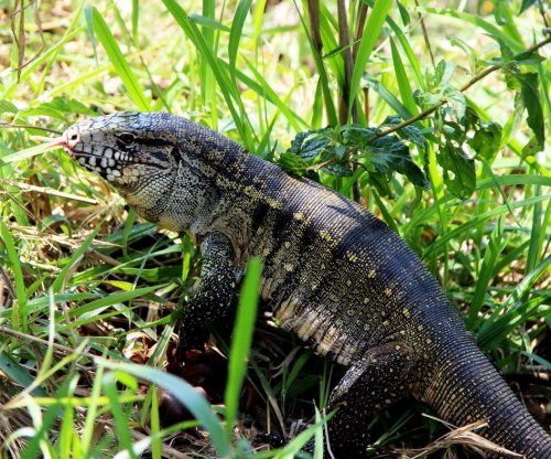 Large South American lizards on the loose in Georgia
