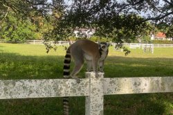 Florida police capture loose lemur, another still on the run