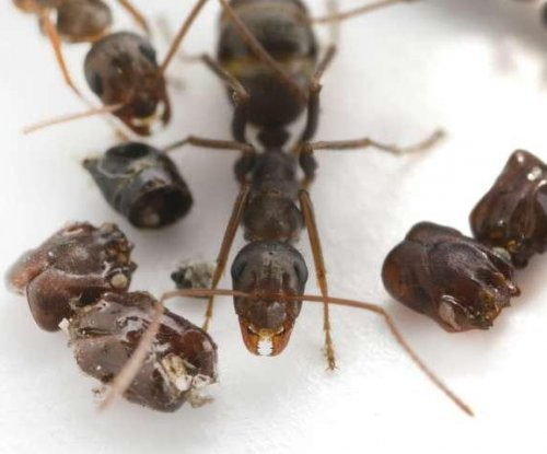 Florida ant species collects skulls, uses chemical weapons to kill prey