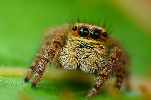 After sex, female jumping spiders get shy