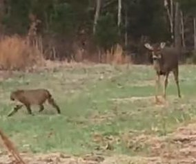 Hunter films tense confrontation between deer and bobcat