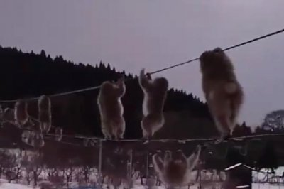 Watch:-Monkeys-parade-across-electrical-wire