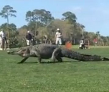 Massive gators startle golfers at two South Carolina island courses