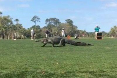 Massive gators startle golfers at two South Carolina island courses