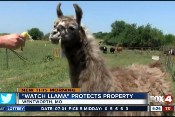Watch: Tony the llama watches over cattle herd - UPI com
