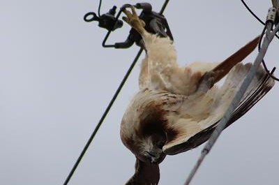 Police help free red-tailed hawk from power lines in Alabama
