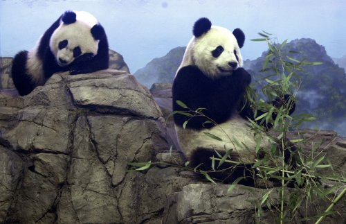 National Zoo panda inseminated