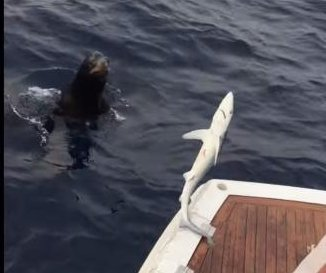 Seal tries to steal shark from fishing line in California
