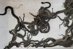 Reptile rescuer finds nearly 100 rattlesnakes under California home