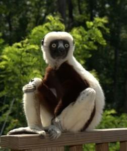 Zoboomafoo' star Jovian the lemur dies - UPI com