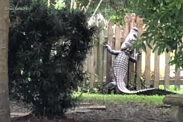 Watch Alligator Tries To Flee Trappers By Climbing Tall