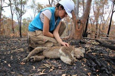 Scientists find burnt, starving koalas weeks after the bushfires