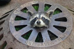 Firefighters free raccoon with head stuck in sewer cover
