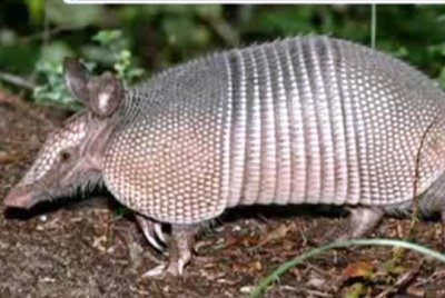 Georgia man's bullet bounces off armadillo, hits mother-in-law