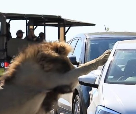 Lion's attack on car caught on camera in South Africa