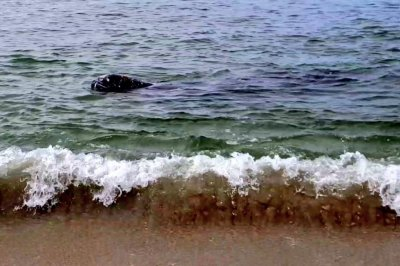Gray whale makes visit to shallow waters in California