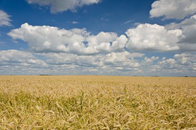USDA identifies unapproved GMO wheat growing wild in Washington