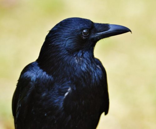 Four-month-old ravens just as intelligent as adult apes, study suggests
