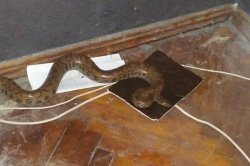 Police remove 6 1/2-foot python from under woman's bed