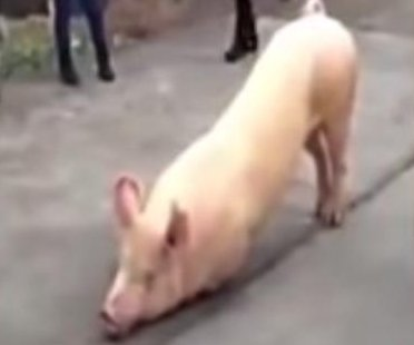 'Praying' pig at Chinese temple becomes a viral star