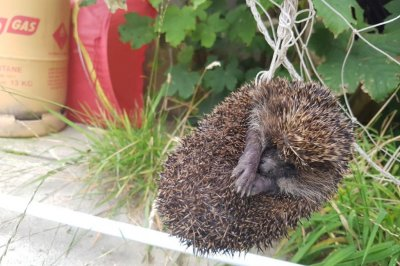 Animal welfare workers rescues hedgehog from garden netting