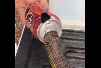 Tiger snake with head stuck in beer can rescued in Australia
