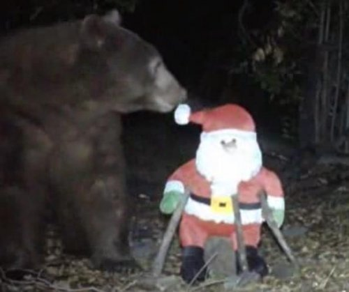 Bah, hum-bear: Wildlife camera records Santa attack
