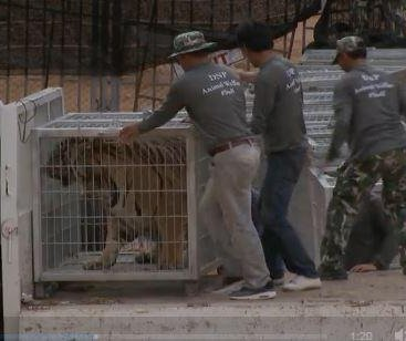Tigers seized from sanctuary in Thailand