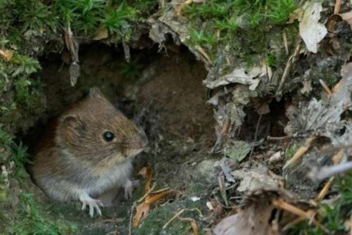 Scared rodents have more babies