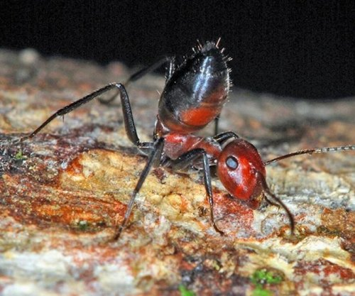 Exploding ants: Scientist survey fiery species in Southeast Asia