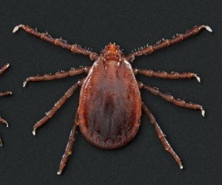 New disease-bearing tick may spread throughout U.S.