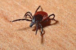 Model predicts where Lyme disease-carrying ticks will develop