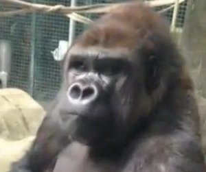 Watch: Gorilla with zero chill pounds on glass, moons zoo visitors