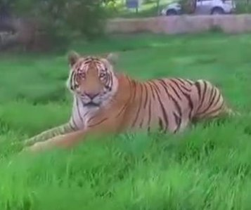 Tiger takes out video drone at Colombia zoo