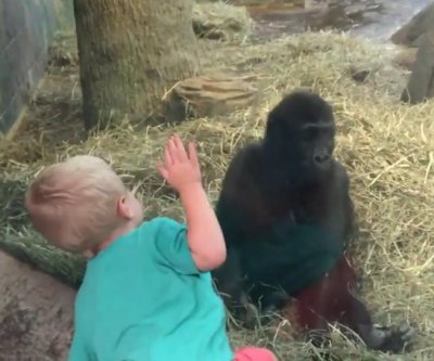 Toddler plays peek-a-boo with young zoo gorilla
