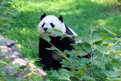 National Zoo celebrates Bei Bei the panda's 4th birthday