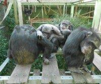 Outsider threats inspire bonding, cooperation among chimpanzees