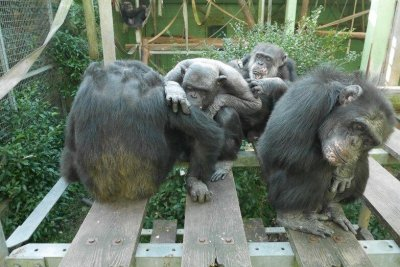 Outsider threats inspire bonding, cooperation among chimpanzees