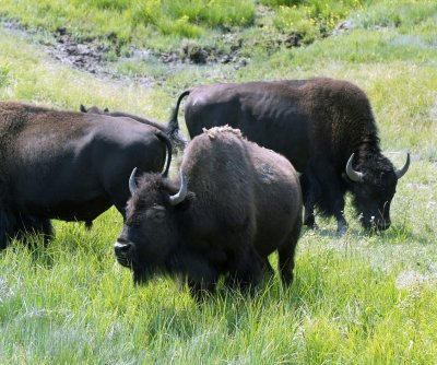 Scientists, feds aim to curb spread of brucellosis in Yellowstone