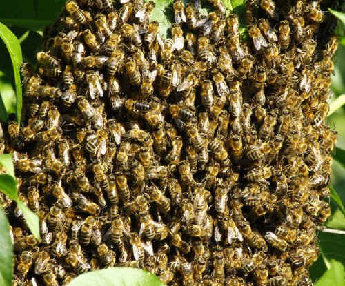 Researchers confirm presence of killer bees in Bay Area