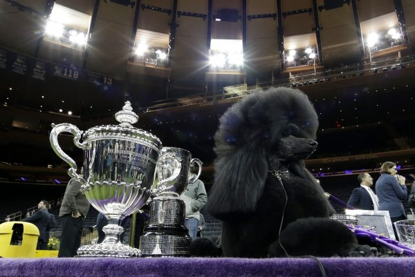 siba the poodle wins best in show at westminster dog show
