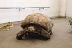 Tortoise with joint problems gets around on roller board at German zoo