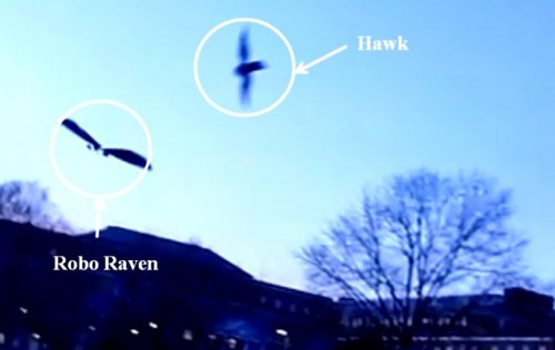 Robo Raven bird drone fools real birds