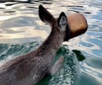 Deer rescued while swimming with bucket over head